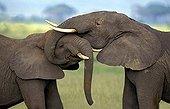 African elephant - Kenya