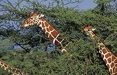 Reticulated giraffe - Kenya