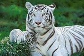 Tiger - Asia