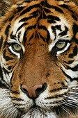 Sumatran tiger - Asia