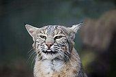 Eurasian lynx - Europe