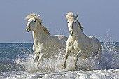 Horse - Camargue
