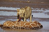 Lion Reticulated giraffe - Kenya ; Reticulated giraffe stuck and drowned in the river