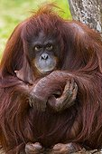 Female Bornean Orang-utan
