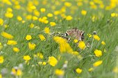 Brown Hare among buttercups at spring - GB