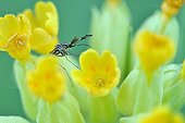 European tree-hole mosquito - Prairie Fouzon France