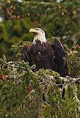 Bald Eagle on a branch - Pacific Rim Canada