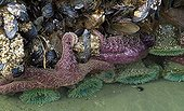 Starfish Sea anemones and Mussels Pacific Rim Canada ; Florencia beach