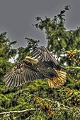 Bald Eagle flying away - Pacific Rim Canada