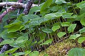 False Lily of the valley leaves - Pacific Rim Canada