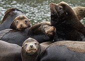 Steller Sea Lions at rest - Pacific Rim BC Canada