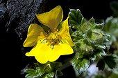 Villous cinquefoil flower - Pacific Rim BC Canada