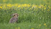 Brown Hare feeding in a meadow at spring - GB
