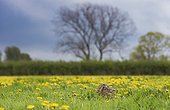 Brown Hare in a blooming meadow at spring - GB