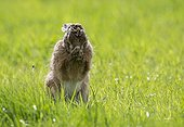 Brown Hare cleaning its feet in a meadow at spring - GB