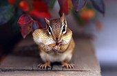 Siberian chipmunk eating peanuts - Canada