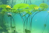 Yellow water lily leaves on the surface of a lake - France