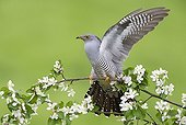 Cuckoo perched in a blooming tree at spring - GB