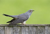Cuckoo perched on a fence at spring - GB