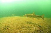 """Barbel in the river The Cheran - Alpes France  ; Cheran is a course labeled """"Wild River"""" from 2014 by the Fund for the Conservation of Wild Rivers water."""