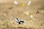 Pied lapwing catching a butterfly - Pantanal Brazil