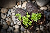 Seedlings planted in shoes - France