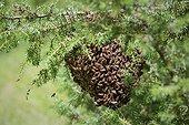 Honeybee swarm hanging from a branch of juniper - France