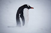 Gentoo penguins in the blizzard - Antarctic Peninsula