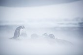 Gentoo penguins in the blizzard - Antarctic Peninsula
