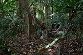 Poses for camera trap Malayan Tiger - Malaysia ; There is still around 500 in the wild.
