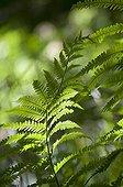 Male fern ; Dryopteris filix-mas