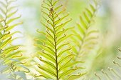 Mountain Blechnum ; Mountain blechnum, Blechnum tabulare. A close up of fronds showing pattern and detail of curled tips.