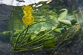 Yellow water lily blooming in the river Lez - France