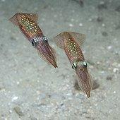 Squids  on sandy background - Rade de Brest France  ; depth: - 15m