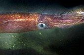 Portrait of Squid on sandy background -Rade de Brest France  ; depth: - 15m