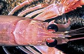 Portrait of Lobster - Brittany France
