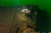 Saint-Pierre wreck - Bay of Douarnenez Brittany France ; Depth - 30m