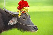 Domestic yak decorated - Region Ninh Binh Vietnam
