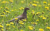 Red-legged Partridge in a blooming meadow in spring - GB