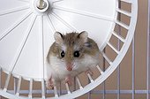 Desert hamsterseul