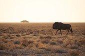 Gnou à queue noire marchant dans la plaine - Etosha Namibie