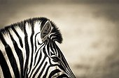 Portrait of Burchell's zebra in savannah - Etosha Namibia
