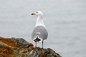 Legged gull on shore - Ile de Porquerolles France ; its nesting site