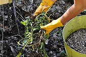 Composting of largeflower primrose willow in a garden