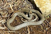 Smooth snake eating a lizard walls - France