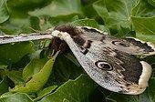 Giant Peacock moth on leaves - France