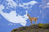 Guanaco on rocks - Torres del Paine Chile