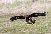 Golden Eagle in flight above the ground in winter - France