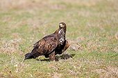 Golden Eagle on the ground in winter - France