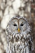 Portrait of Ural Owl - Sologne France